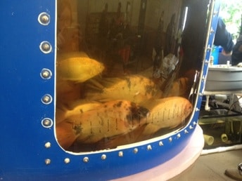 Tilapia in the tank of an aquaponics system